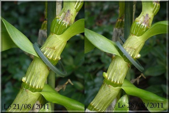 Dendrobium nobile blanche aout 2011 (3)