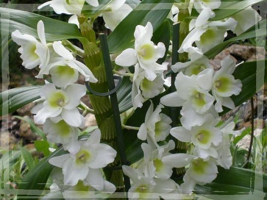 Dendrobium nobile blanche avril 2010 (7)