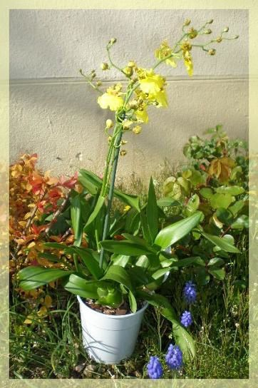 Oncidium jaune avril 2010 (1)