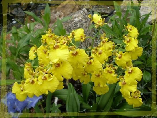 Oncidium jaune avril 2010 (7)