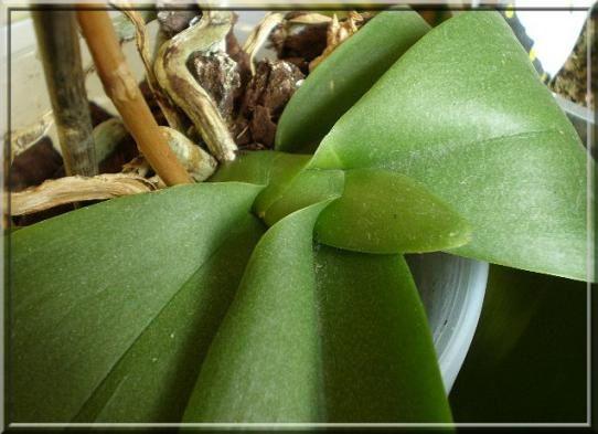 Phalaenopsis février 2010