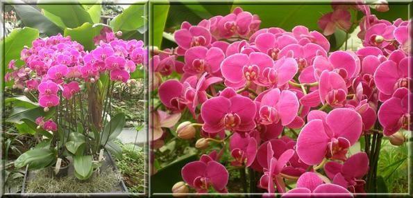 exposition d 39 orchid es orl ans 2012 les phalaenopsis avec du fil et une aiguille. Black Bedroom Furniture Sets. Home Design Ideas