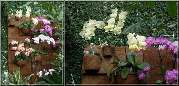 Phalaenopsis (5)