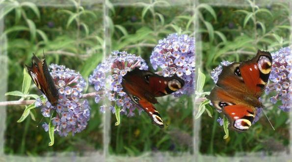 Paon du jour Juillet 2012 blog