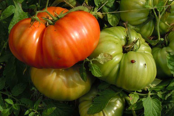 Tomates Aussie