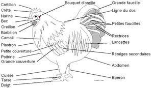 """Anatomie Poule la poule et vous"""" , le site est prêt - le blog orpingtonmania"""