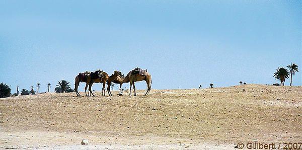 Desert-et-chameaux.jpg