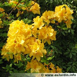 rhododendron-yellow.jpg