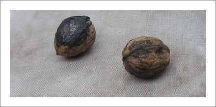 Walnut-Ink-First-Dye.jpg