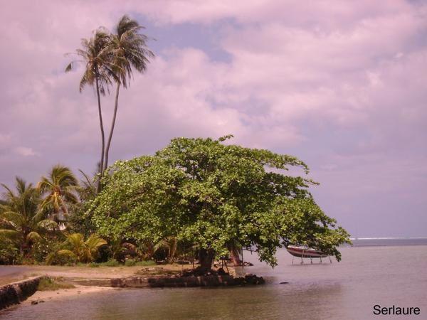 Le badamier ou amandier tropical serlaure fenua - Fruit de l amandier ...
