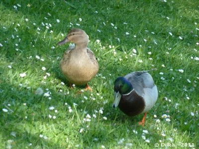 les-canards