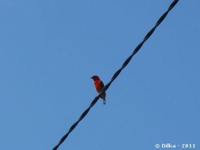 cardinal-de-madagascar
