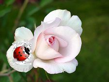 coccinelle-rose-copie-1.jpg