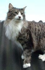 vends maine coon