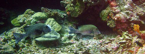 Couple-de-Gaterins-arlequins--Apo-reef--Philippines-01-copie-1.JPG