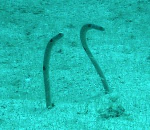 Heteroconger-ou-Anguilles-jardini--res--Apo-Island--Philippines-02.JPG