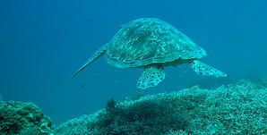 Tortue------caille--Pandan--Philippines.JPG