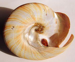 Pleurotomariidae--Pleurotomaria-hirasei--base--85mm-de-diam--tre---Bohol--Philippines.JPG