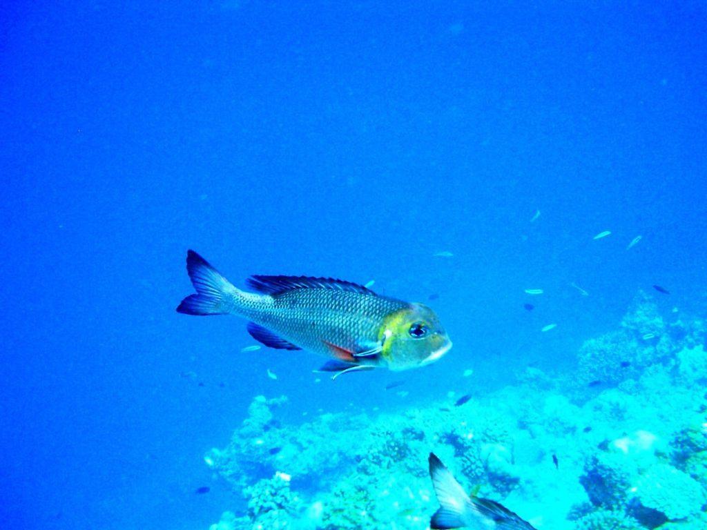 Quelques photos de poissons prises lors de notre séjour snorkeling à Biyadhoo aux Maldives avec un petit appareil numérique Rollei, étanche jusqu'à moins trois mètres.