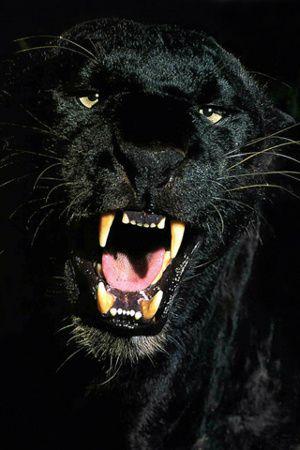PanthereNoire.jpg