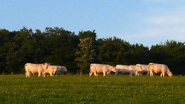 Vaches meusiennes