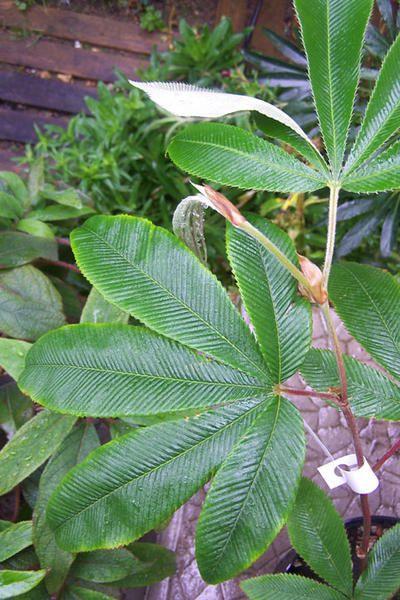 Rubus-lineatus.jpg