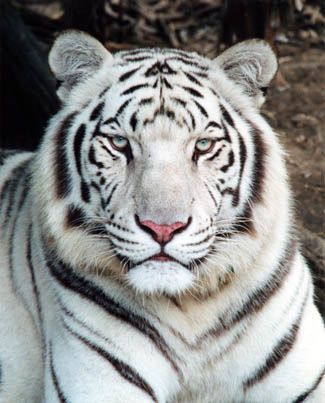 white tiger blue eyes ...