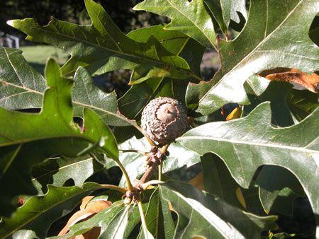Quercus_lyrata4-3332g-.jpg