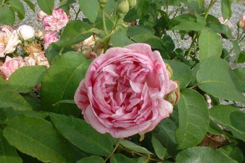 5912-Rosa-Gros-Provins-Panache.jpg