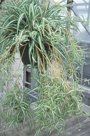 chlorophytumgy1