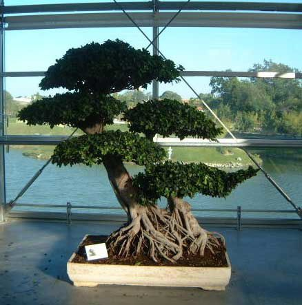 Photos de bonsa s d 39 un debutant blog perso de for Arbre bonsai exterieur