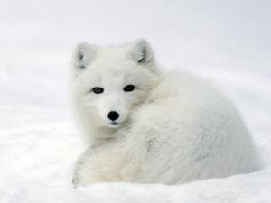 """Résultat de recherche d'images pour """"bébé renard polaire"""""""