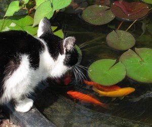 chat et poissons 26 aout 11