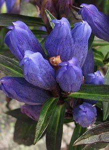 gentiana-triflora-Chitelet-16-aout-11.jpg
