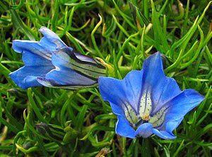 gentiana-veitchiorum-Chitelet-16-aout-11.jpg