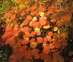 cotinus-coggygria-Golden-Spirit-29-oct-11-030.jpg