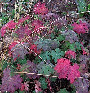 geranium macrorrhizum 31 oct 11