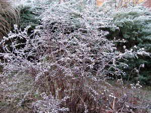 aster-lady-in-Black-1-dec-12.jpg