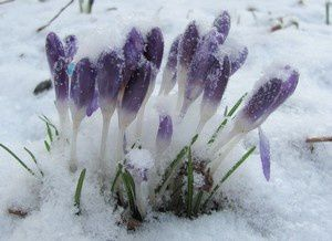 crocus-mauves-15-mars-13.jpg