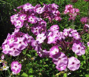 phlox-paniculata-Uspech-midi-23-juil-12.jpg
