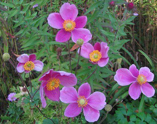 anemone-hupehensis-Splendens-2-oct-13.jpg