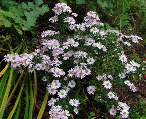 aster-nain-rose-tres-pale-8-oct-13.jpg