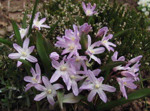 chionodoxa-forbesii-Pink-Giant-7-avr-13.jpg