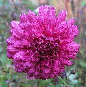 chrysanthemum-double-pourpre-13-nov-13.jpg