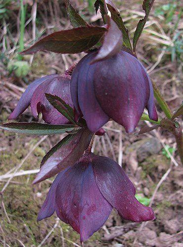 helleborus-orientalis-pourpre-8-avr-13.jpg