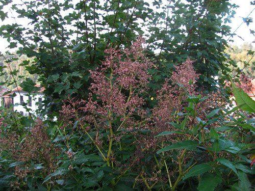 persicaria-polymorpha-25-sept-13.jpg