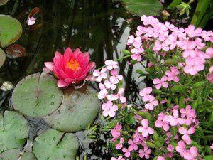 saponaria-ocymoides-22-juin-13.jpg