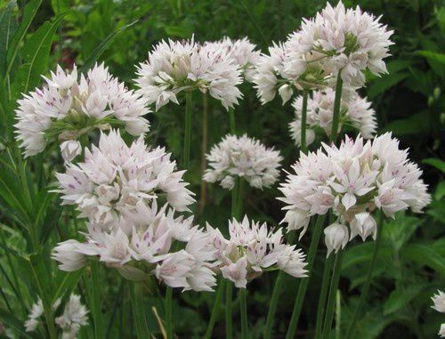 allium-amplectens-Graceful-4-juin-14.jpg