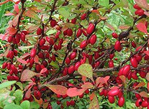 berberis-thunbergii-Pow-Wow-19-sept-14.jpg