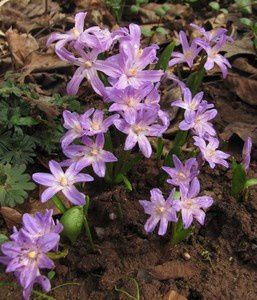 chionodoxa-forbesii-Violet-Beauty-23-mars-14.jpg